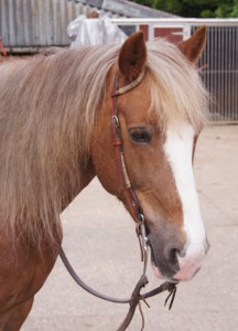 Welsh Cob mare Dolly